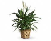 Simply Elegant Spathiphyllum - Medium in Stephenville TX, Scott's Flowers On The Square