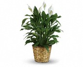 Simply Elegant Spathiphyllum - Large in Billerica MA, Candlelight & Roses Flowers & Gift Shop