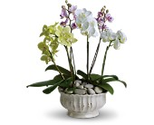 Regal Orchids in Chicago IL, Wall's Flower Shop, Inc.