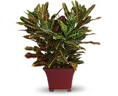 Stately Croton in Surrey BC, 99 Nursery & Florist Inc