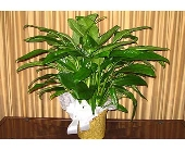 Peace Lily (Spathiphyllum) in Kentwood LA, Glenda's Flowers & Gifts, LLC