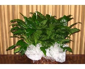Double Peace Lily (Spathiphyllum) in Kentwood LA, Glenda's Flowers & Gifts, LLC