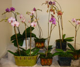 Hybrid Orchid Plants in Naples FL, Gene's 5th Ave Florist