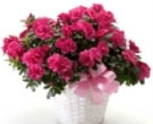 Blooming Azalea Plant in Big Rapids MI, Patterson's Flowers, Inc.