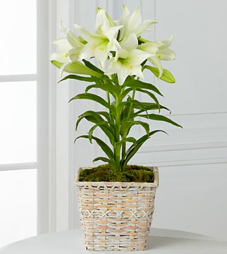 Spring Blessings Easter Lily Plant in Highlands Ranch CO, TD Florist Designs