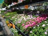 Bedding Plants in Belleville ON, Live, Love and Laugh Flowers, Antiques and Gifts