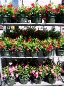 Dipladenia Hanging Baskets in Belleville ON, Live, Love and Laugh Flowers, Antiques and Gifts