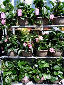 Mandevilla Hanging Baskets in Belleville ON, Live, Love and Laugh Flowers, Antiques and Gifts