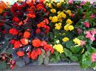 Tuberous Begonia in Belleville ON, Live, Love and Laugh Flowers, Antiques and Gifts