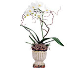 Phalaenopsis Orchid in Madison WI, Felly's Flowers