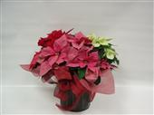 TrI-Colour Poinsettia in Belleville ON, Live, Love and Laugh Flowers, Antiques and Gifts