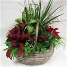 Medium Poinsettia Mixed Planter in Belleville ON, Live, Love and Laugh Flowers, Antiques and Gifts