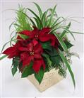 Small Poinsettia Mixed Planter in Belleville ON, Live, Love and Laugh Flowers, Antiques and Gifts