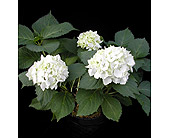 Hydrangea plant in Kent OH, Richards Flower Shop