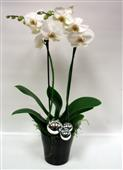 Holiday Orchid in Belleville ON, Live, Love and Laugh Flowers, Antiques and Gifts
