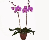 Orchid Plant in Wading River NY, Forte's Wading River Florist