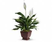 Teleflora's Lovely One Spathiphyllum Plant in Key West FL, Kutchey's Flowers in Key West