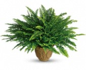 Teleflora's Heartwarming Thoughts Boston Fern in South Lyon MI, South Lyon Flowers & Gifts