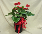 Marvelous 6 Anthurium Plant in Sun City AZ, Sun City Florists