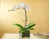 Phalaenopsis Orchid Plant Single in Charleston SC, Tiger Lily Florist Inc.