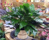 Large Peace Lilly in Camden AR, Camden Flower Shop