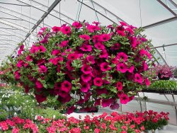 HANGING BASKET FROM OUR GREENHOUSE