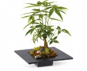 Money Tree in Surrey BC, All Tymes Florist