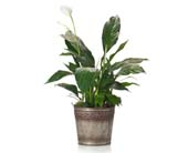 Buds and Blooms Peace Lily in Metal Pot