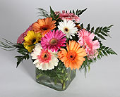 Gerber Daisies Cubed in Southampton PA, Domenic Graziano Flowers