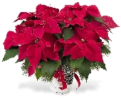 Holiday Poinsettia With Pine Cones and Winter Gree in Big Rapids, Cadillac, Reed City and Canadian Lakes MI, Patterson's Flowers, Inc.