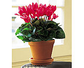 Sensational Cyclamen in Greenwich CT, Greenwich Florist