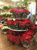 Beautiful Poinsettias in Belleville ON, Live, Love and Laugh Flowers, Antiques and Gifts