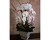 Large 3 Stem Mammoth Phalaenopsis Planter in Thornhill, Ontario, Wisteria Floral Design