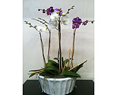 Phaleanopsis Orchid Planter in Naples, Florida, Driftwood Garden Center & Florist