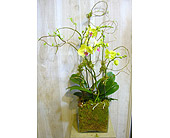 Orchids by Dotty in Dallas TX, Petals & Stems Florist