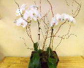 Majestic White Phalaenopsis in Palm Beach Gardens FL, Floral Gardens & Gifts