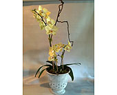 Phaleanopsis Orchid in Guilford CT, Guilford White House Florist