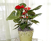 6 Inch Red Anthurium in Longview TX, Casa Flora Flower Shop