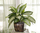 6 Inch Chinese Evergreen in Longview TX, Casa Flora Flower Shop