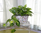 6 Inch Pothos Ivy in Longview TX, Casa Flora Flower Shop