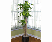4-3-2 Dracaena Cane in Longview TX, Casa Flora Flower Shop