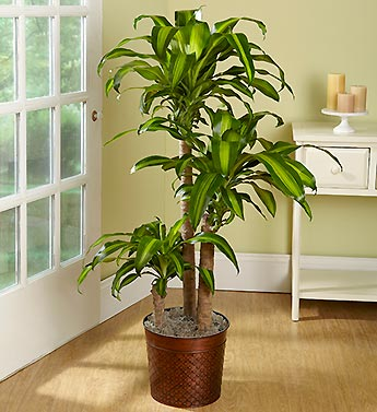 MASS CANE FLOOR PLANT in Vienna, Virginia, Vienna Florist & Gifts