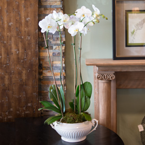 White Phalaenopsis Orchids in Denver CO, Happy Canyon Flowers.