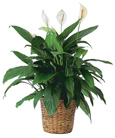 Spathiphyllum Plant by Hoogasian Flowers in San Francisco CA, Hoogasian Flowers