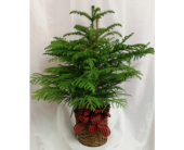 Norfolk Island Pine in Grand Rapids MN, Shaw Florists