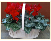 Double Cyclamen in Greenwich CT, Greenwich Florist