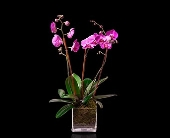 Pink Triple Orchid in Glass in Miami Beach FL, Pistils & Petals