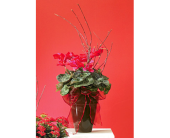 DECORATED RED CYCLAMEN in Medicine Hat AB, Beryl's Bloomers
