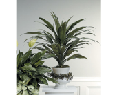 DRACAENA PLANT IN DECORATED URN in Medicine Hat AB, Beryl's Bloomers