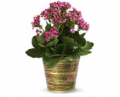 Simply Happy Kalanchoe Plant by Teleflora in Beaumont TX, Blooms by Claybar Floral